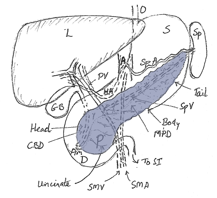 Anatomy of the Pancreas Diagnosis Treatment Surgery